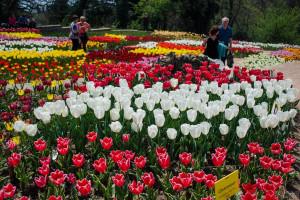 """Выставка """"Парад тюльпанов"""" в Никитском ботаническом Саду"""