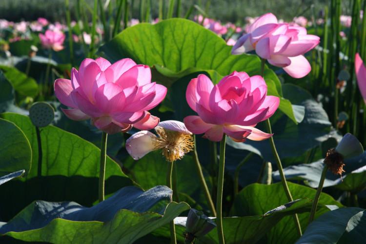 Цветение лотоса и загадочная Элиста