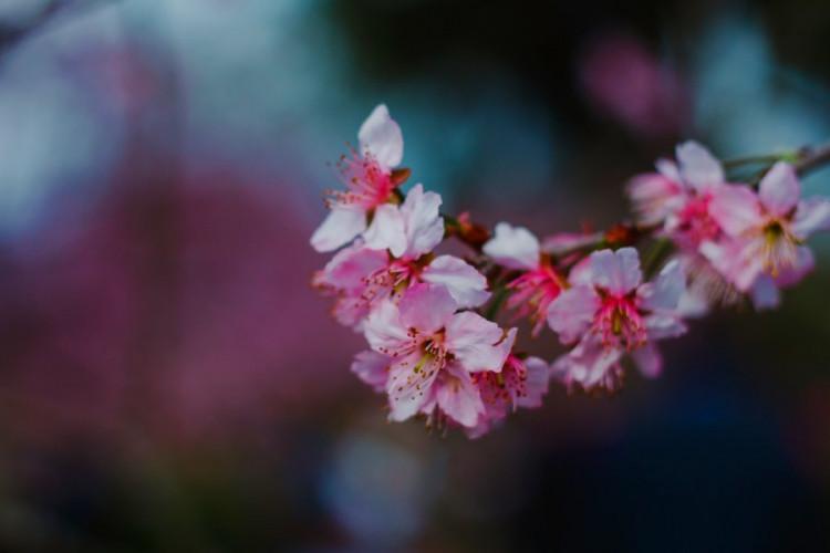 Фестиваль цветения сакуры ханами в Хельсинки